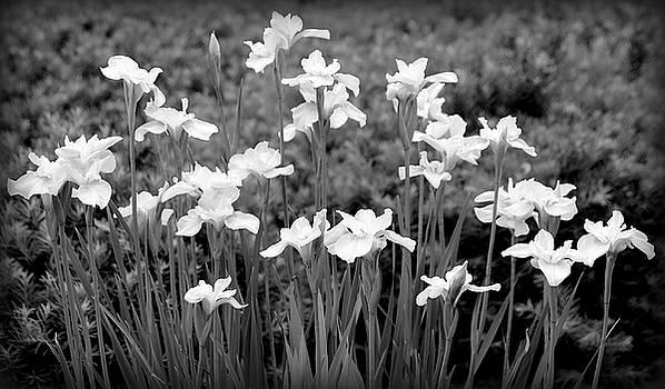 Rosanne Jordan - White Iris Row Black and White