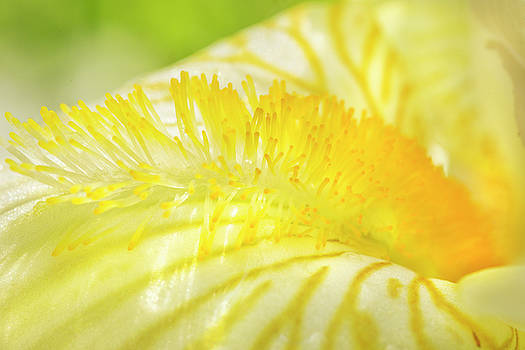 White Iris Stamen by Iris Richardson