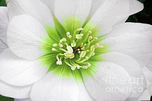 Regina Geoghan - White Lenten Rose Portrait