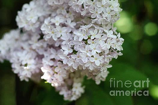 White Lilacs by Laurel Best