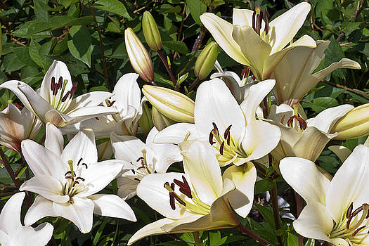 Sandra Foster - White Lilies In The Garden