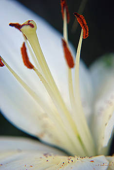 White Lilly by Lisa Gabrius