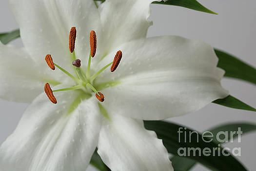 Steve Purnell - White Lily 1