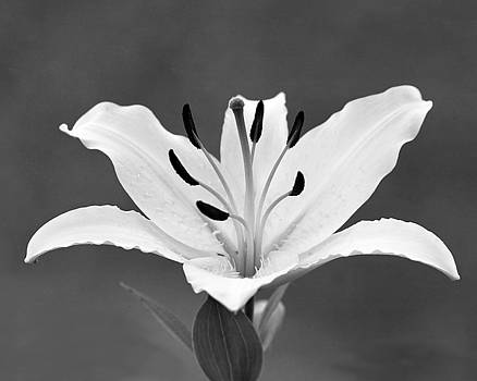 White Lily by Kimberly Blom-Roemer