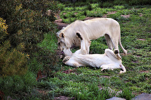 Cheryl Hall - White lion and white lioness