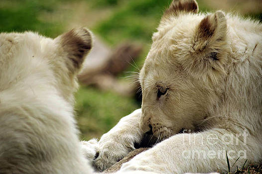 White Lion Cub by Elaine Mikkelstrup