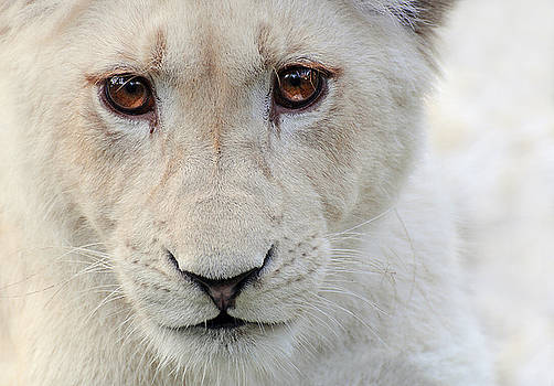 White Lion Cub ... Izulu by Stephie Butler