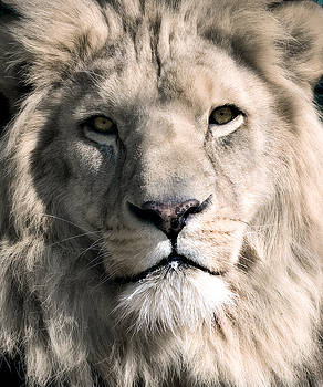 White Lion by Dean Bertoncelj