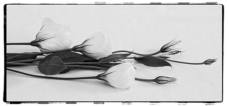 White Lisianthus  by Sandra Foster
