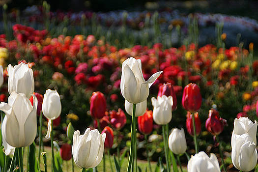 White Lit Tulips by Andrea Jean