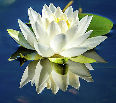 White Lotus by Jerry Cahill
