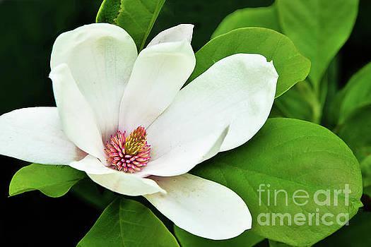 Regina Geoghan - White Magnolia in Bloom