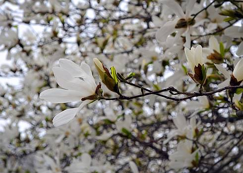White Magnolia by Michelle Calkins
