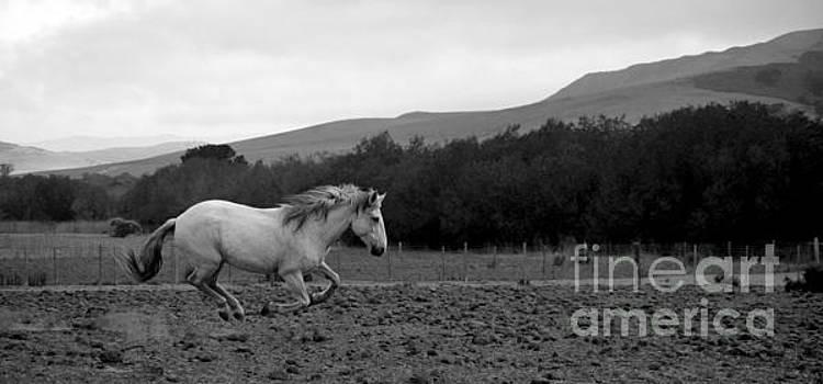 Heather Kirk - White Mare Gallops #1 - Panoramic Black and White
