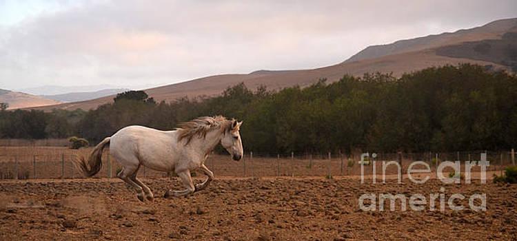 Heather Kirk - White Mare Gallops #1 - Panoramic Brighter