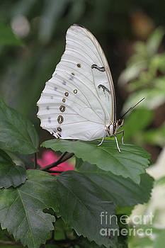 White Morpho Butterfly by Judy Whitton
