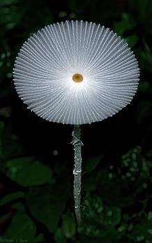 Warren Sarle - White Mushroom