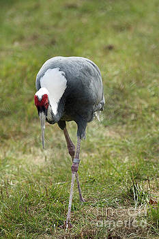 White-naped Crane by Janet Pugh