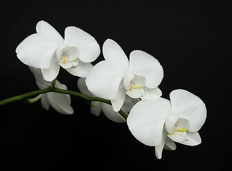 White on Black by Denise Bird