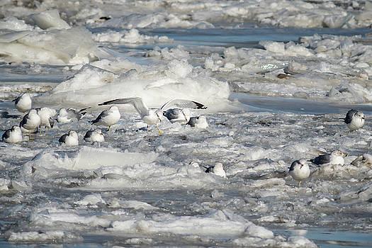 White on Blue Gull by Gary E Snyder