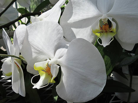 White Orchid Bloom Duo by Tony Grider