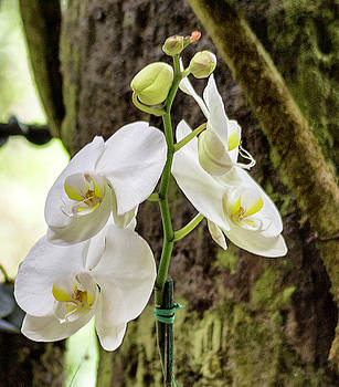 White Orchid by Bonnie Davidson