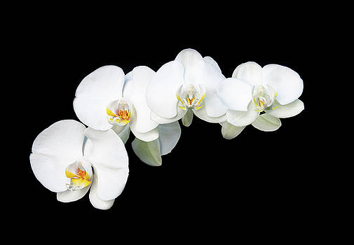 Michalakis Ppalis - White orchid flower