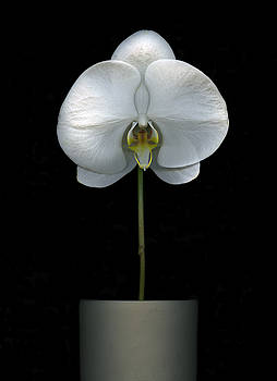 Christian Slanec - White Orchid in a pot