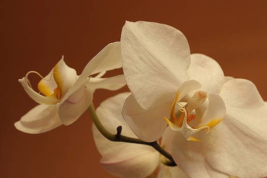 white Orchid by Mario Bennet