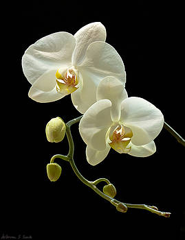 Warren Sarle - White Orchid on Black Background