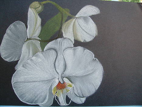 White Orchid On Black by Dion Halliday