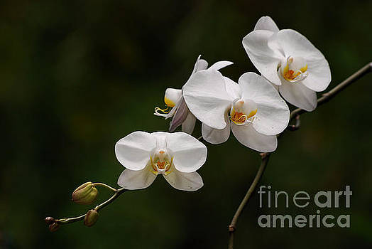 White Orchids by Lorenzo Cassina