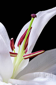 White Oriental Lily Opening - #1552 by David Perry Lawrence