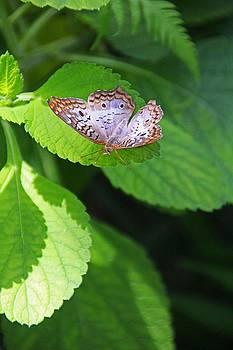 White Peacock Butterfly II by Michiale Schneider