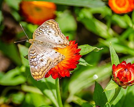 White Peacock Butterfly by Stephanie Maatta Smith