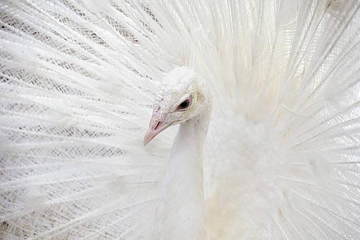 Peggy Collins - White Peacock Closeup
