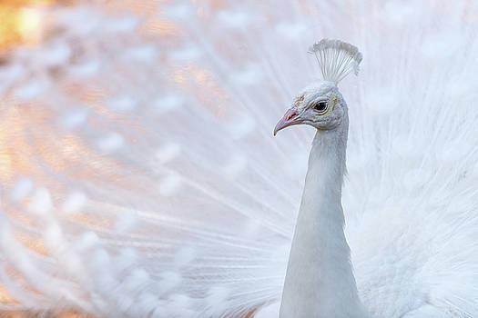 White Peacock by Sebastian Musial