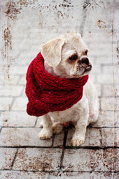 White Pekingese Wearing A Red Scarf by Suzanne Powers