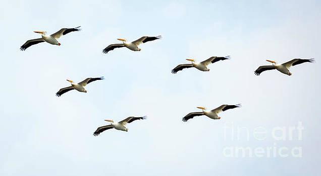 White Pelican Flyby by Ricky L Jones