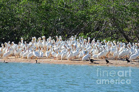 Bob Phillips - White Pelican Island Three