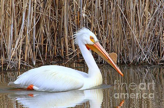 White Pelican by Marty Fancy