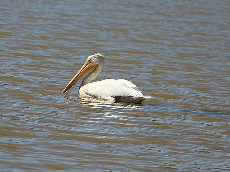 White Pelican on Lake by Gary Canant