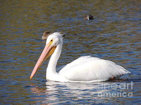 White Pelican by Robert Ball