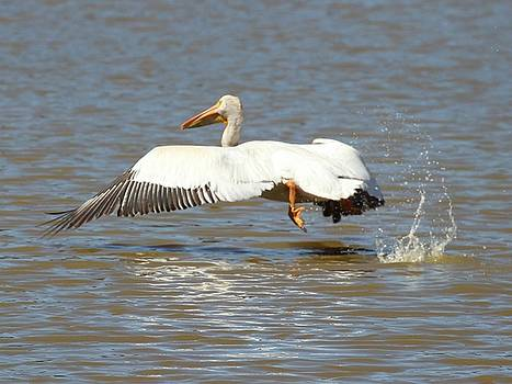 White Pelican Takeoff 1 by Gary Canant