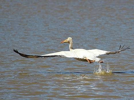 White Pelican Takeoff 2 by Gary Canant
