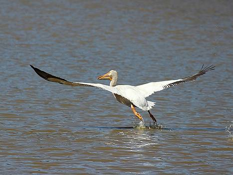 White Pelican Takeoff 3 by Gary Canant