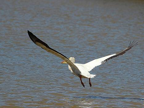 White Pelican Takeoff 4 by Gary Canant