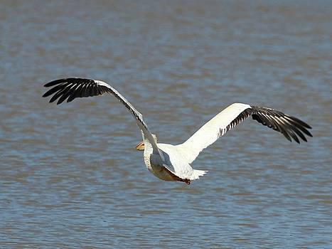 White Pelican Takeoff 5 by Gary Canant