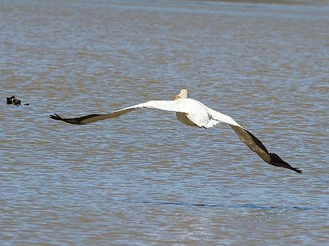 White Pelican Takeoff 6 by Gary Canant