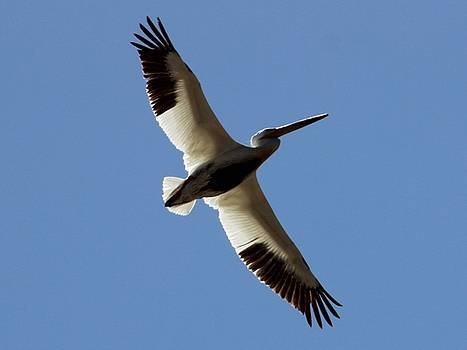 White Pelican Takeoff Complete by Gary Canant